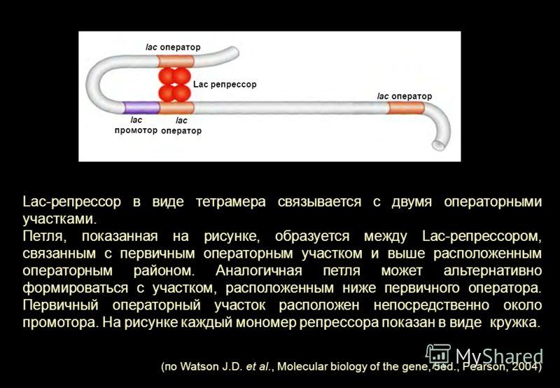 Lac-репрессор в виде тетрамера связывается с двумя операторными участками. Петля, показанная на рисунке, образуется между Lac-репрессором, связанным с первичным операторным участком и выше расположенным операторным районом. Аналогичная петля может ал