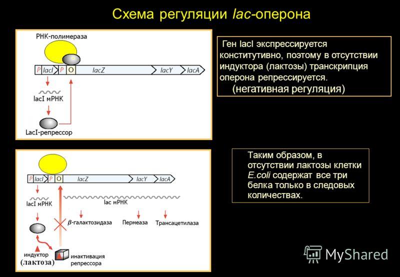 Схема регуляции lac-оперона Таким образом, в отсутствии лактозы клетки E.coli содержат все три белка только в следовых количествах. Ген lacI экспрессируется конститутивно, поэтому в отсутствии индуктора (лактозы) транскрипция оперона репрессируется.