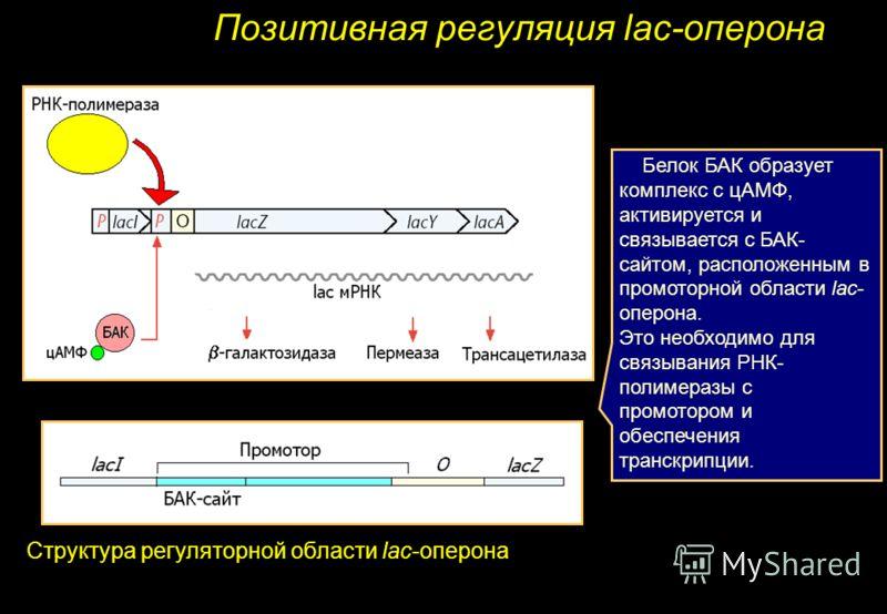 Позитивная регуляция lac-оперона Структура регуляторной области lac-оперона Белок БАК образует комплекс с цАМФ, активируется и связывается с БАК- сайтом, расположенным в промоторной области lac- оперона. Это необходимо для связывания РНК- полимеразы