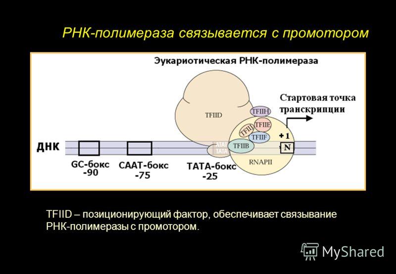 РНК-полимераза связывается с промотором TFIID – позиционирующий фактор, обеспечивает связывание РНК-полимеразы с промотором.
