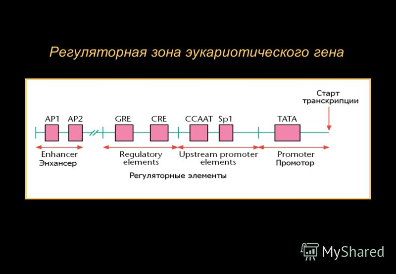 Регуляторная зона эукариотического гена