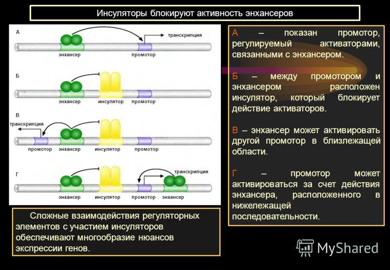 энхансер инсуляторпромотор инсулятор транскрипция А Б В Г Инсуляторы блокируют активность энхансеров А – показан промотор, регулируемый активаторами, связанными с энхансером. Б – между промотором и энхансером расположен инсулятор, который блокирует д
