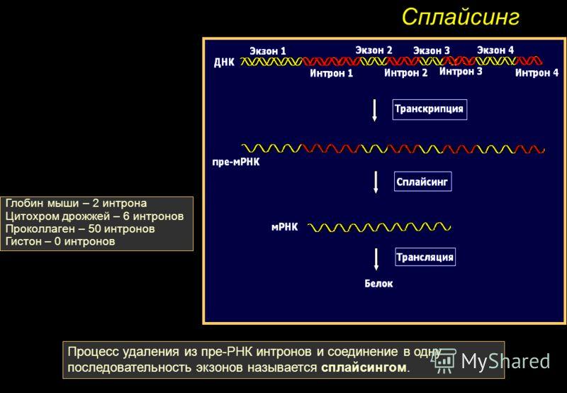 Сплайсинг Процесс удаления из пре-РНК интронов и соединение в одну последовательность экзонов называется сплайсингом. Глобин мыши – 2 интрона Цитохром дрожжей – 6 интронов Проколлаген – 50 интронов Гистон – 0 интронов