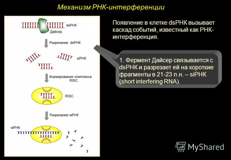 Механизм РНК-интерференции Появление в клетке dsРНК вызывает каскад событий, известный как РНК- интерференция. 1. Фермент Дайсер связывается с dsРНК и разрезает ей на короткие фрагменты в 21-23 п.н. – siРНК (short interfering RNA).