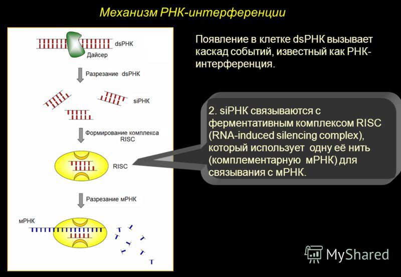 Механизм РНК-интерференции Появление в клетке dsРНК вызывает каскад событий, известный как РНК- интерференция. 2. siРНК связываются с ферментативным комплексом RISC (RNA-induced silencing complex), который использует одну её нить (комплементарную мРН