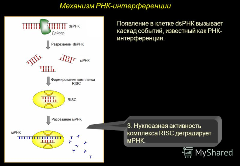 Механизм РНК-интерференции Появление в клетке dsРНК вызывает каскад событий, известный как РНК- интерференция. 3. Нуклеазная активность комплекса RISC деградирует мРНК.