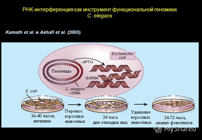 РНК-интерференция как инструмент функциональной геномики C. elegans Kamath et al. и Ashafi et al. (2003)