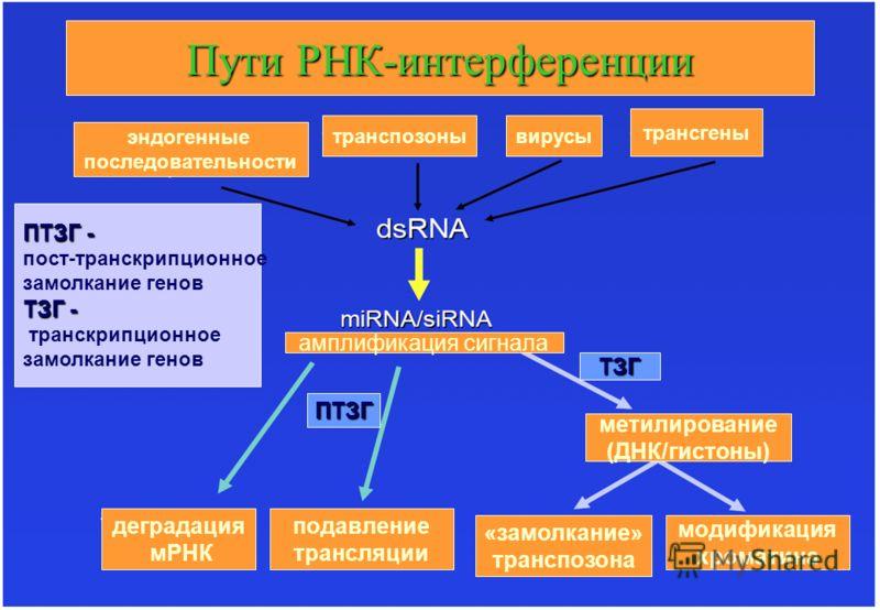 ПутиРНК-интерференции Пути РНК-интерференции эндогенные последовательности транспозонывирусы трансгены амплификация сигнала ПТЗГ ТЗГ подавление трансляции деградация мРНК «замолкание» транспозона модификация хроматина метилирование (ДНК/гистоны) ПТЗГ