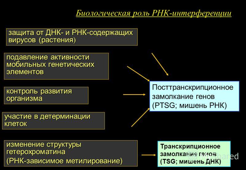 Биологическая роль РНК-интерференции подавление активности мобильных генетических элементов контроль развития организма участие в детерминации клеток изменение структуры гетерохроматина (РНК-зависимое метилирование) Посттранскрипционное замолкание ге