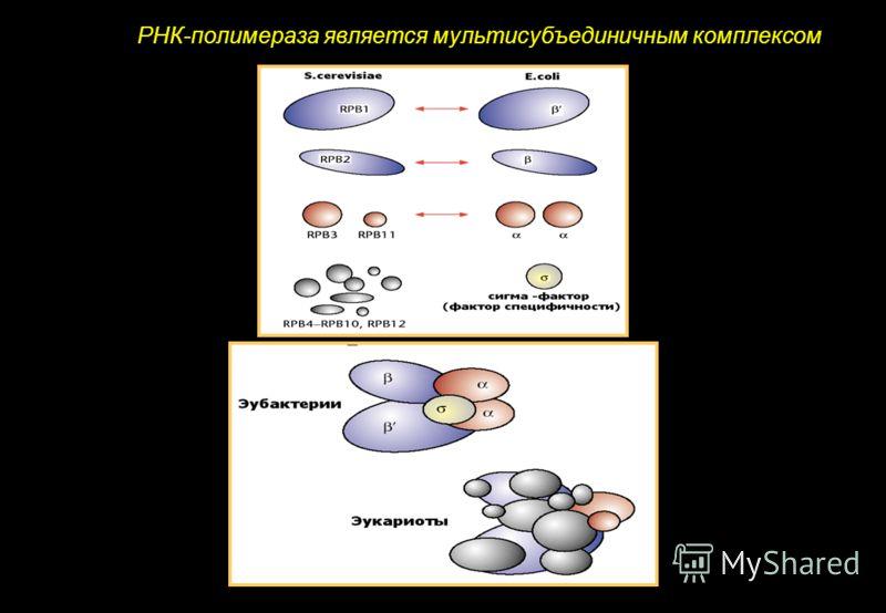 РНК-полимераза является мультисубъединичным комплексом
