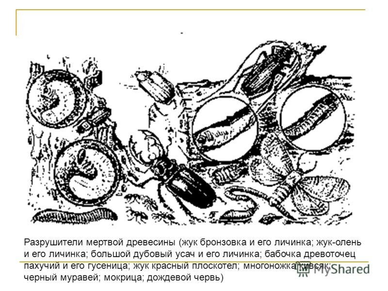 Разрушители мертвой древесины (жук бронзовка и его личинка; жук-олень и его личинка; большой дубовый усач и его личинка; бабочка древоточец пахучий и его гусеница; жук красный плоскотел; многоножка кивсяк; черный муравей; мокрица; дождевой червь)