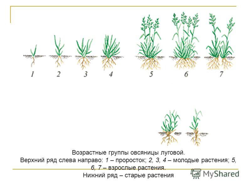 Возрастные группы овсяницы луговой. Верхний ряд слева направо: 1 – проросток; 2, 3, 4 – молодые растения; 5, 6, 7 – взрослые растения. Нижний ряд – старые растения