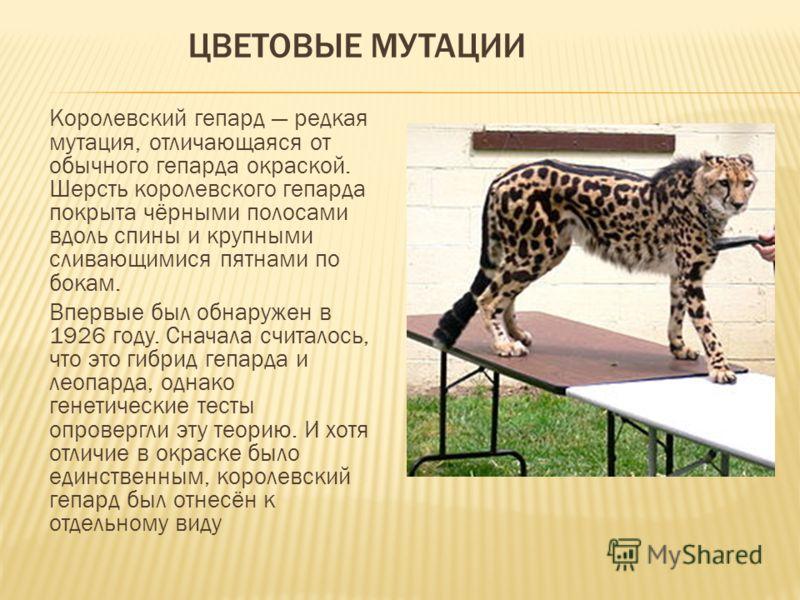 ЦВЕТОВЫЕ МУТАЦИИ Королевский гепард редкая мутация, отличающаяся от обычного гепарда окраской. Шерсть королевского гепарда покрыта чёрными полосами вдоль спины и крупными сливающимися пятнами по бокам. Впервые был обнаружен в 1926 году. Сначала счита