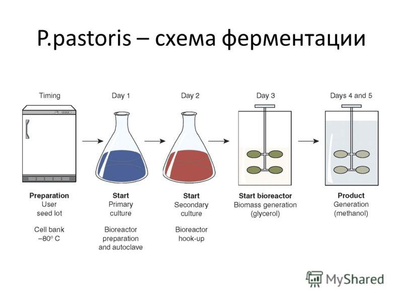 P.pastoris – схема ферментации