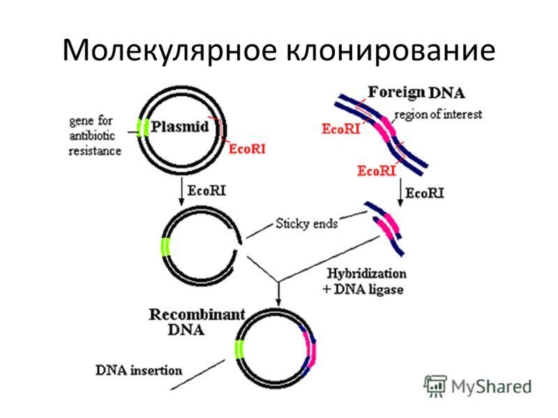 Молекулярное клонирование