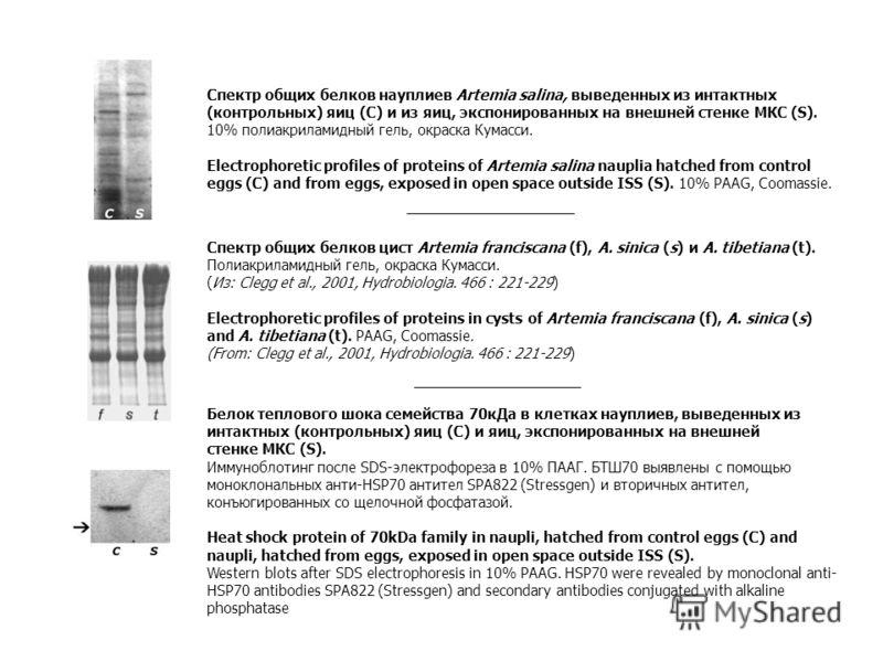 Спектр общих белков науплиев Artemia salina, выведенных из интактных (контрольных) яиц (C) и из яиц, экспонированных на внешней стенке МКС (S). 10% полиакриламидный гель, окраска Кумасси. Electrophoretic profiles of proteins of Artemia salina nauplia