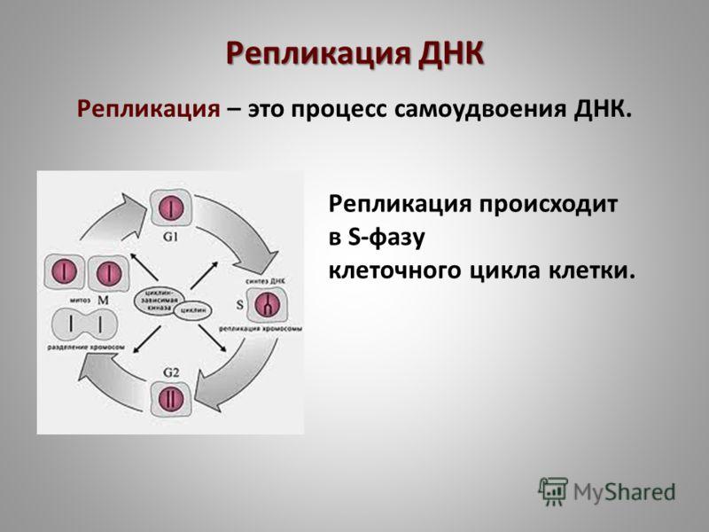 Репликация ДНК Репликация – это процесс самоудвоения ДНК. Репликация происходит в S-фазу клеточного цикла клетки.