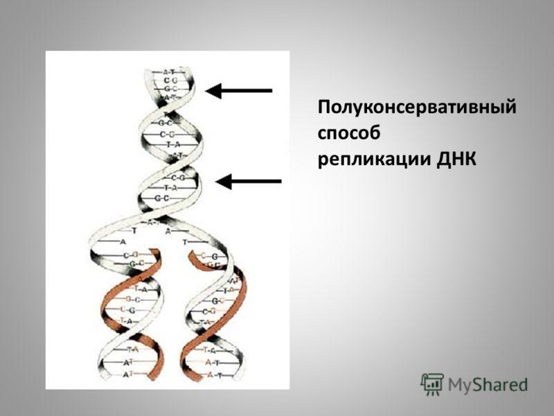 Полуконсервативный способ репликации ДНК