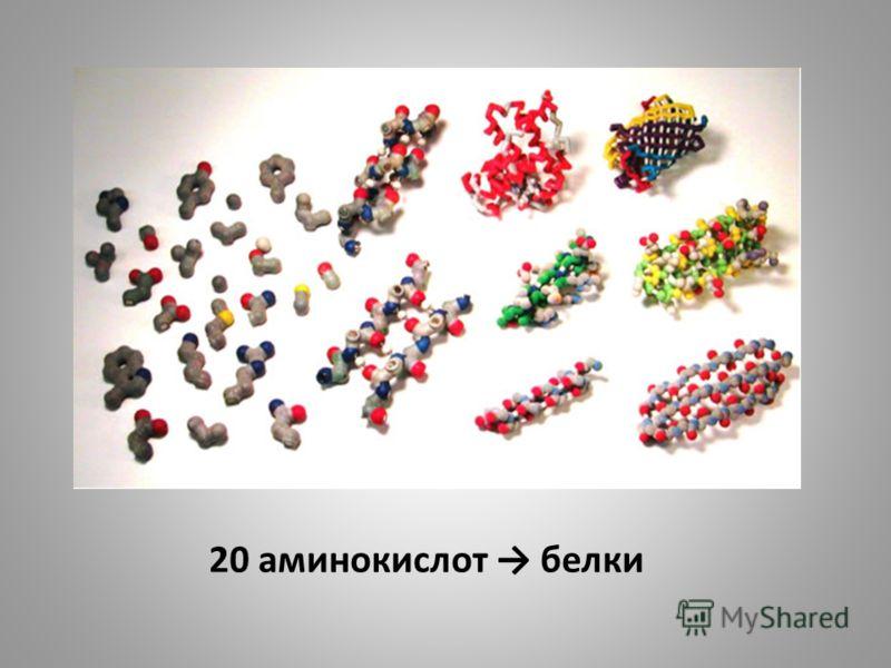 20 аминокислот белки
