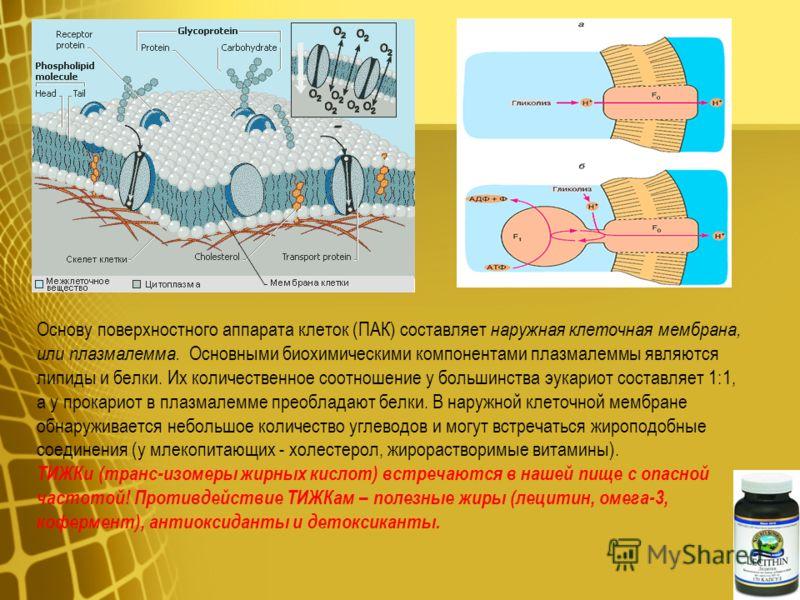Основу поверхностного аппарата клеток (ПАК) составляет наружная клеточная мембрана, или плазмалемма. Основными биохимическими компонентами плазмалеммы являются липиды и белки. Их количественное соотношение у большинства эукариот составляет 1:1, а у п