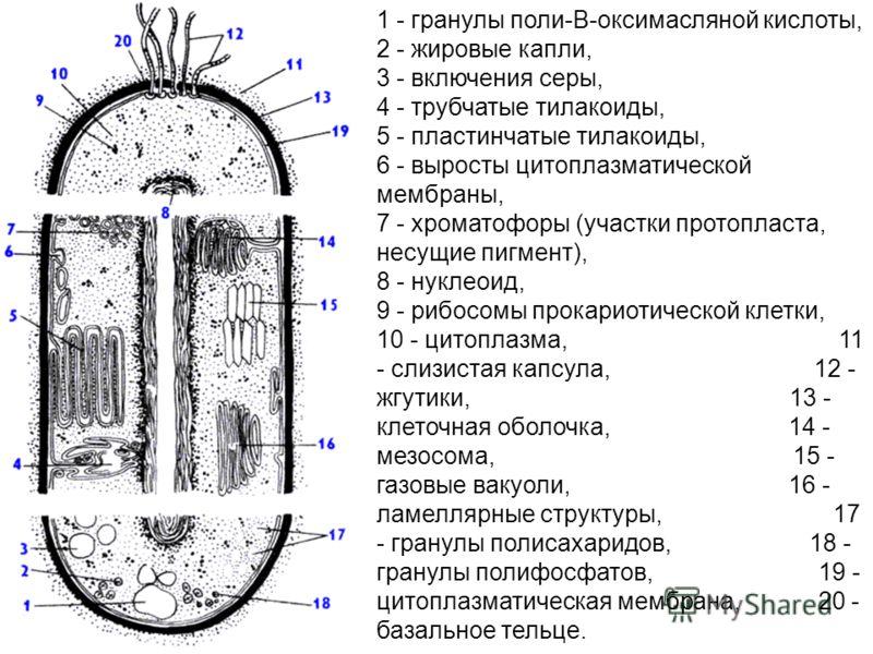 1 - гранулы поли-В-оксимасляной кислоты, 2 - жировые капли, 3 - включения серы, 4 - трубчатые тилакоиды, 5 - пластинчатые тилакоиды, 6 - выросты цитоплазматической мембраны, 7 - хроматофоры (участки протопласта, несущие пигмент), 8 - нуклеоид, 9 - ри