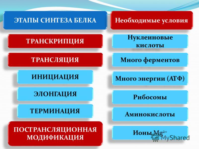 ЭТАПЫ СИНТЕЗА БЕЛКА ТРАНСКРИПЦИЯ ТРАНСЛЯЦИЯ ПОСТРАНСЛЯЦИОННАЯ МОДИФИКАЦИЯ ИНИЦИАЦИЯ ЭЛОНГАЦИЯ ТЕРМИНАЦИЯ Необходимые условия Нуклеиновые кислоты Много ферментов Много энергии (АТФ) Рибосомы Аминокислоты Ионы Mg 2+ Ионы Mg 2+