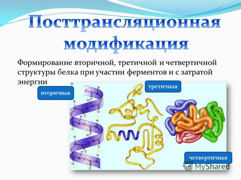 Формирование вторичной, третичной и четвертичной структуры белка при участии ферментов и с затратой энергии вторичная третичная четвертичная