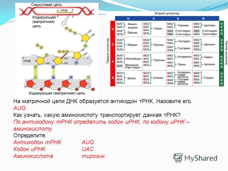 На матричной цепи ДНК образуется антикодон тРНК. Назовите его. АUG. Как узнать, какую аминокислоту транспортирует данная тРНК? По антикодону тРНК определить кодон иРНК, по кодону иРНК – аминокислоту. Определите. Антикодон тРНКAUG Кодон иРНКUAC Аминок