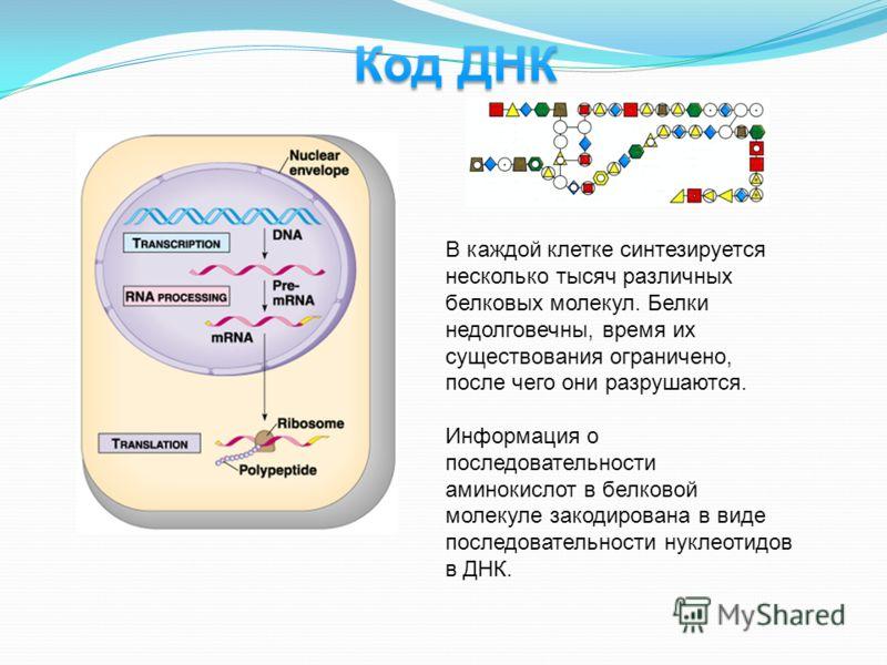 В каждой клетке синтезируется несколько тысяч различных белковых молекул. Белки недолговечны, время их существования ограничено, после чего они разрушаются. Информация о последовательности аминокислот в белковой молекуле закодирована в виде последова