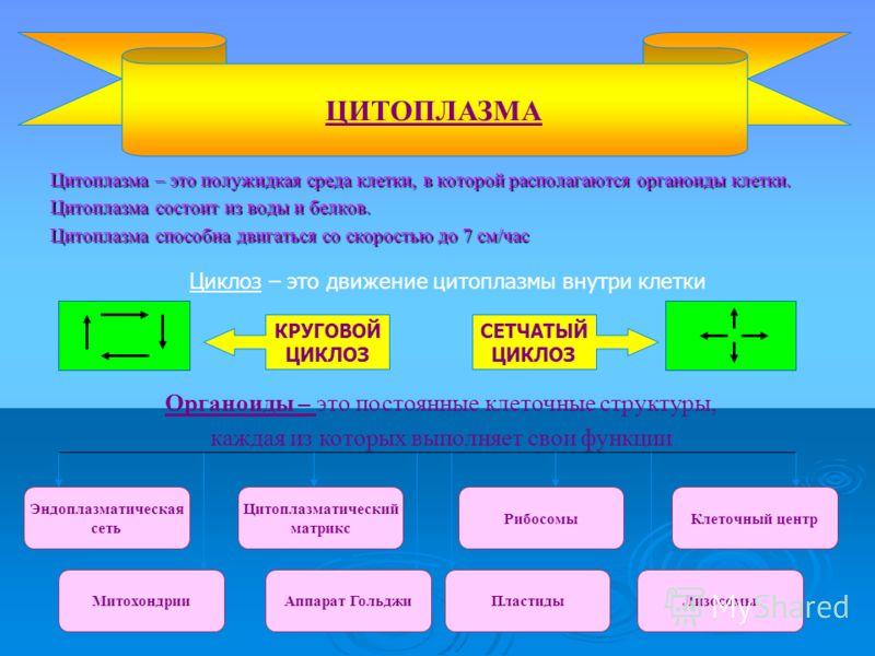Цитоплазма – это полужидкая среда клетки, в которой располагаются органоиды клетки. Цитоплазма – это полужидкая среда клетки, в которой располагаются органоиды клетки. Цитоплазма состоит из воды и белков. Цитоплазма состоит из воды и белков. Цитоплаз