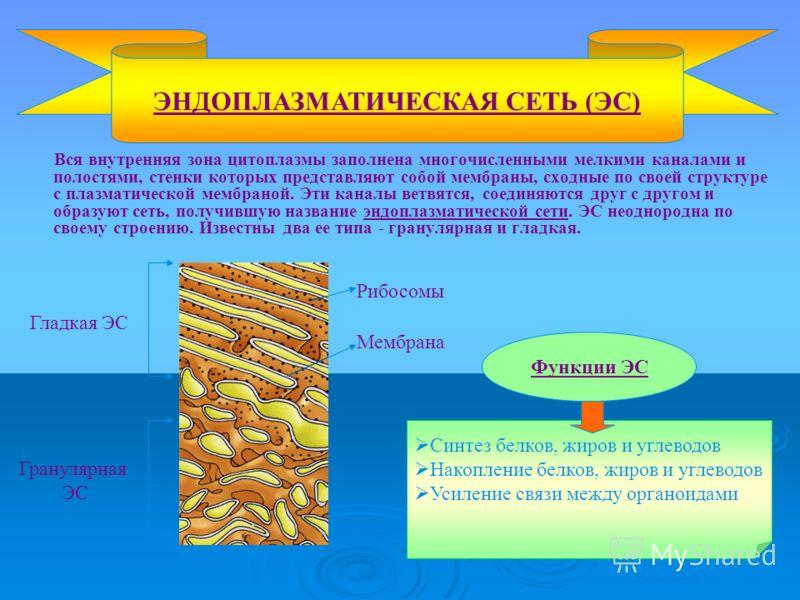 Вся внутренняя зона цитоплазмы заполнена многочисленными мелкими каналами и полостями, стенки которых представляют собой мембраны, сходные по своей структуре с плазматической мембраной. Эти каналы ветвятся, соединяются друг с другом и образуют сеть,