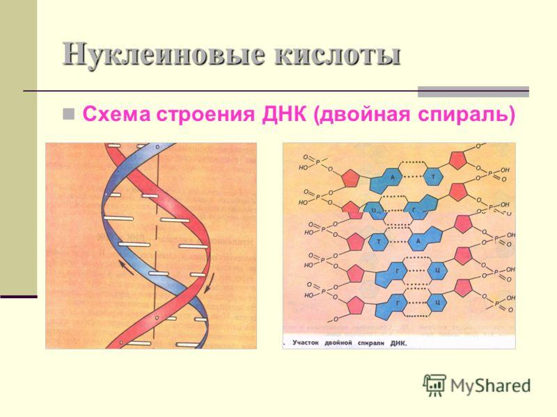 Нуклеиновые кислоты Схема строения ДНК (двойная спираль)