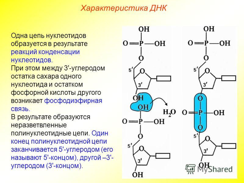 Одна цепь нуклеотидов образуется в результате реакций конденсации нуклеотидов. При этом между 3'-углеродом остатка сахара одного нуклеотида и остатком фосфорной кислоты другого возникает фосфодиэфирная связь. В результате образуются неразветвленные п