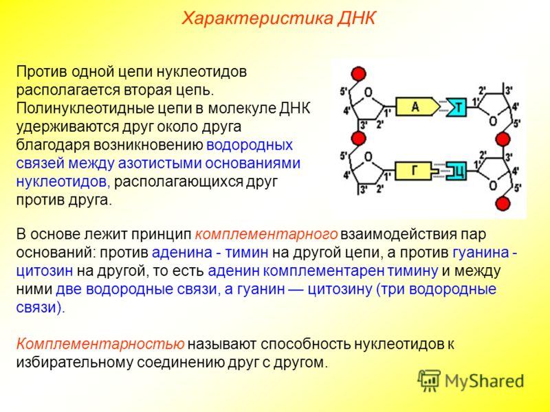 Против одной цепи нуклеотидов располагается вторая цепь. Полинуклеотидные цепи в молекуле ДНК удерживаются друг около друга благодаря возникновению водородных связей между азотистыми основаниями нуклеотидов, располагающихся друг против друга. В основ