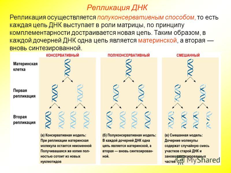 Репликация осуществляется полуконсервативным способом, то есть каждая цепь ДНК выступает в роли матрицы, по принципу комплементарности достраивается новая цепь. Таким образом, в каждой дочерней ДНК одна цепь является материнской, а вторая вновь синте