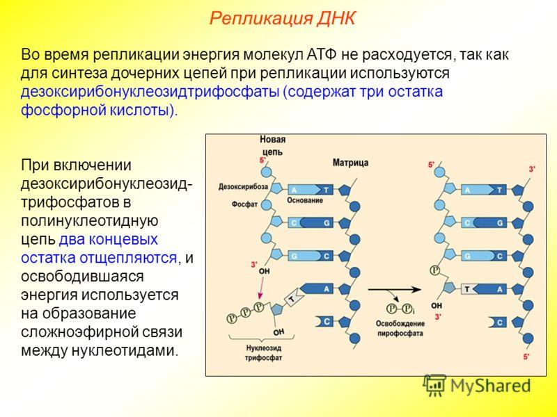При включении дезоксирибонуклеозид- трифосфатов в полинуклеотидную цепь два концевых остатка отщепляются, и освободившаяся энергия используется на образование сложноэфирной связи между нуклеотидами. Во время репликации энергия молекул АТФ не расходуе
