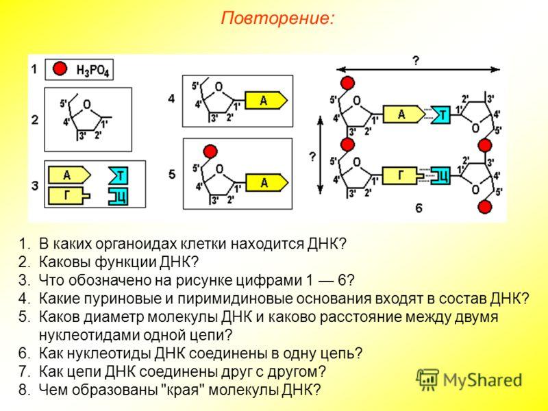 1.В каких органоидах клетки находится ДНК? 2.Каковы функции ДНК? 3.Что обозначено на рисунке цифрами 1 6? 4.Какие пуриновые и пиримидиновые основания входят в состав ДНК? 5.Каков диаметр молекулы ДНК и каково расстояние между двумя нуклеотидами одной