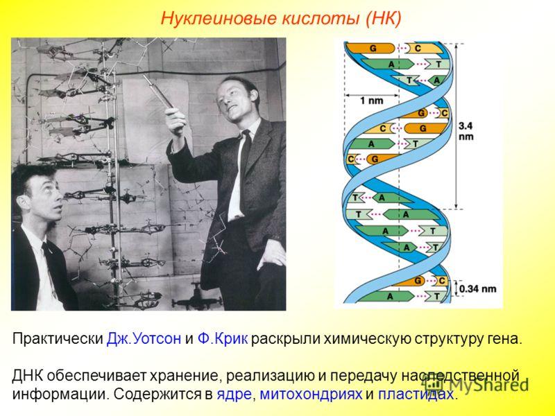 Практически Дж.Уотсон и Ф.Крик раскрыли химическую структуру гена. ДНК обеспечивает хранение, реализацию и передачу наследственной информации. Содержится в ядре, митохондриях и пластидах.