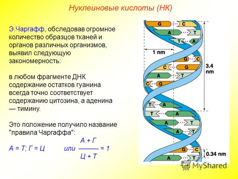 Нуклеиновые кислоты (НК) Э.Чаргафф, обследовав огромное количество образцов тканей и органов различных организмов, выявил следующую закономерность: в любом фрагменте ДНК содержание остатков гуанина всегда точно соответствует содержанию цитозина, а ад