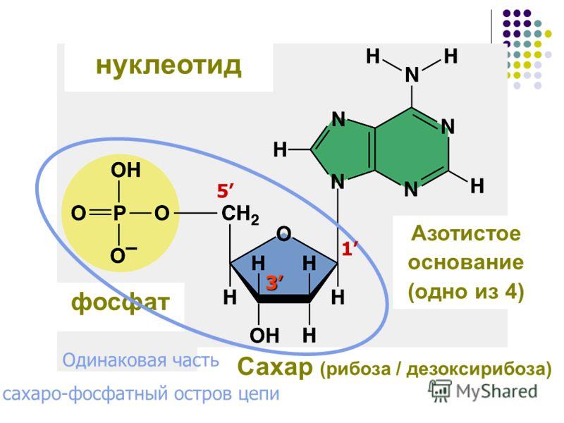 нуклеотид фосфат Сахар (рибоза / дезоксирибоза) Азотистое основание (одно из 4) Одинаковая часть сахаро-фосфатный остров цепи 1 3 5