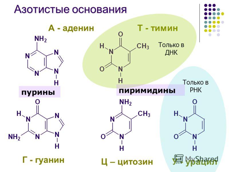 Азотистые основания Г - гуанин Ц – цитозинУ - урацил А - аденинТ - тимин Только в ДНК Только в РНК пурины пиримидины