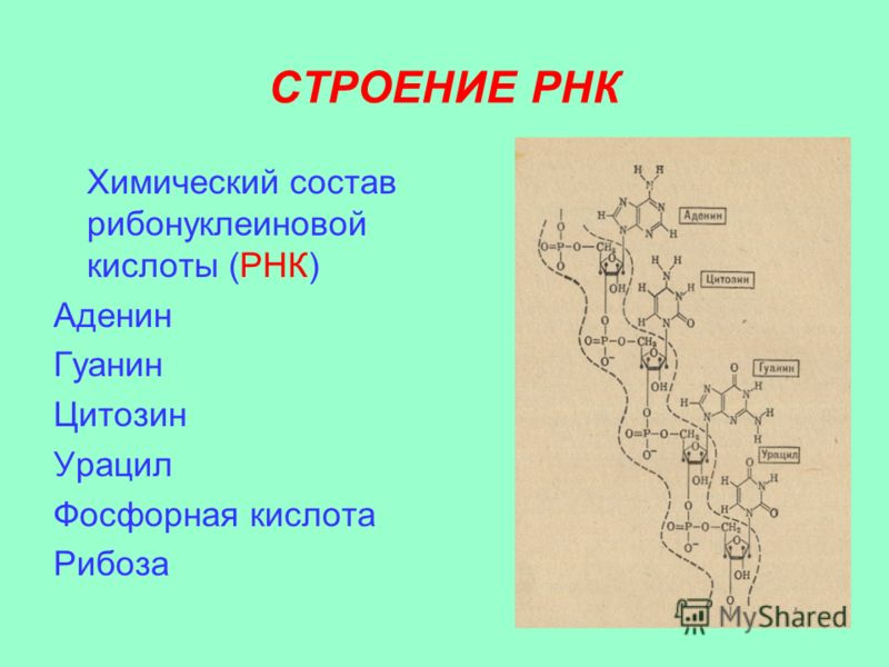 СТРОЕНИЕ РНК Химический состав рибонуклеиновой кислоты (РНК) Аденин Гуанин Цитозин Урацил Фосфорная кислота Рибоза