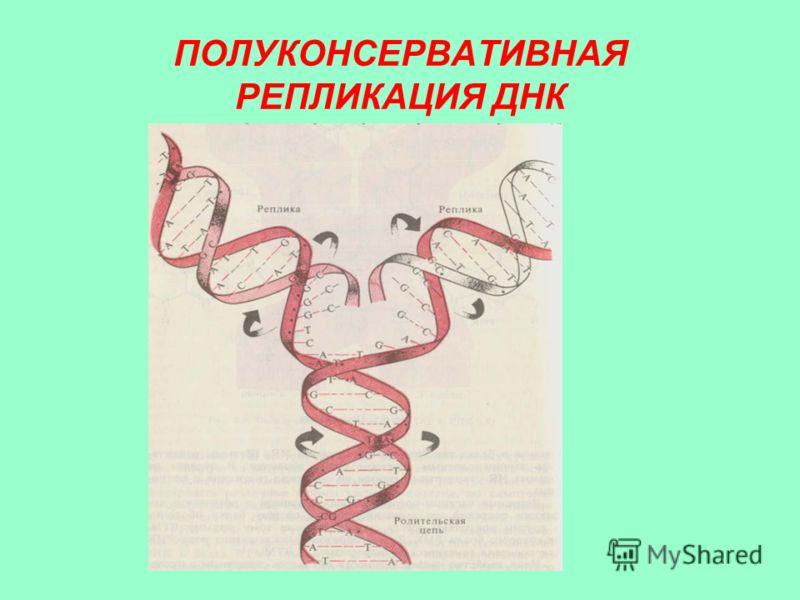 ПОЛУКОНСЕРВАТИВНАЯ РЕПЛИКАЦИЯ ДНК