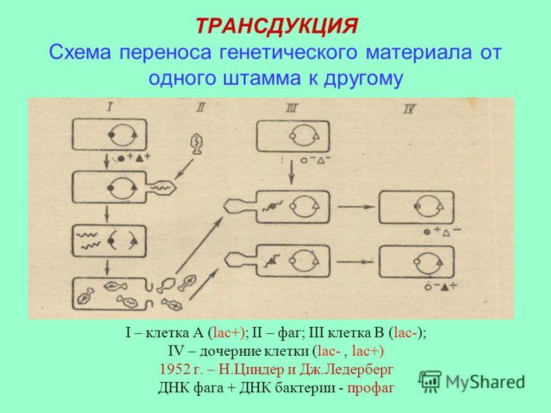 ТРАНСДУКЦИЯ Схема переноса генетического материала от одного штамма к другому I – клетка А (lac+); II – фаг; III клетка В (lac-); IV – дочерние клетки (lac-, lac+) 1952 г. – Н.Циндер и Дж.Ледерберг ДНК фага + ДНК бактерии - профаг