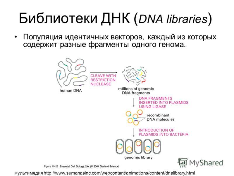 Библиотеки ДНК ( DNA libraries ) Популяция идентичных векторов, каждый из которых содержит разные фрагменты одного генома. мультимедия http://www.sumanasinc.com/webcontent/animations/content/dnalibrary.html