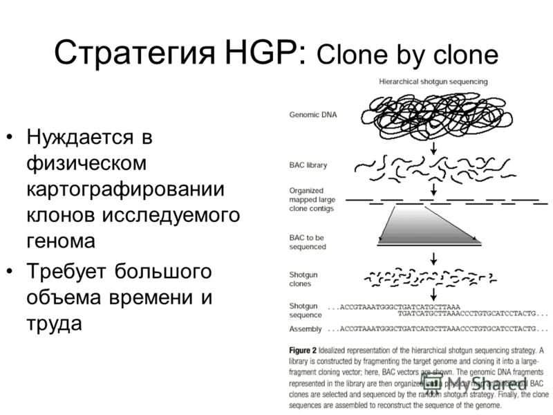 Стратегия HGP: Clone by clone Нуждается в физическом картографировании клонов исследуемого генома Требует большого объема времени и труда