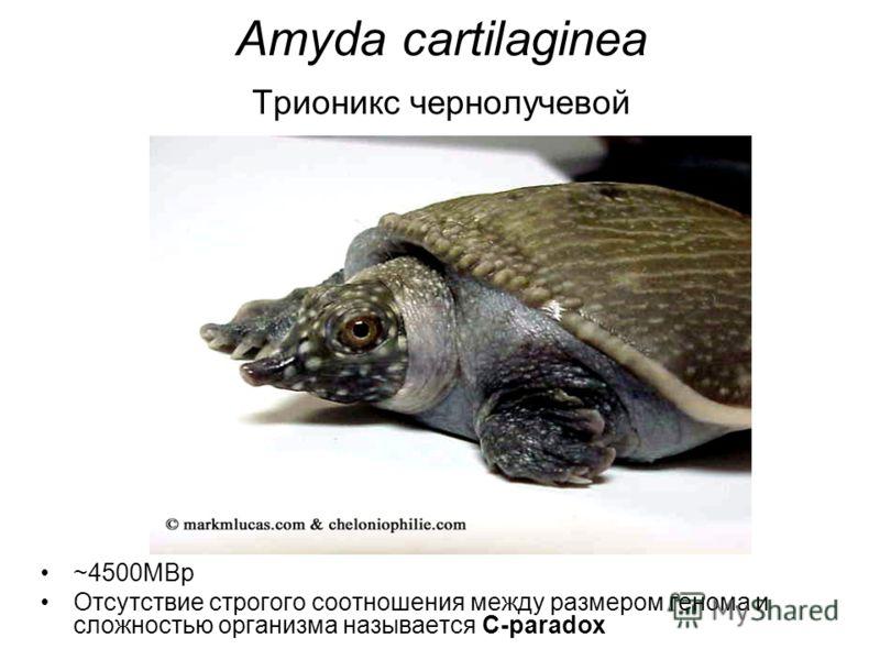 Amyda cartilaginea Трионикс чернолучевой ~4500MBp Отсутствие строгого соотношения между размером генома и сложностью организма называется C-paradox