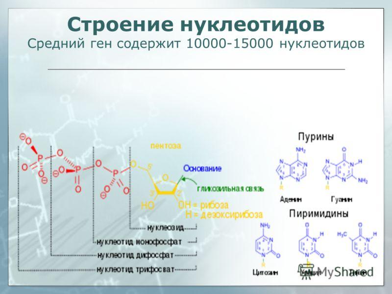 Строение нуклеотидов Средний ген содержит 10000-15000 нуклеотидов