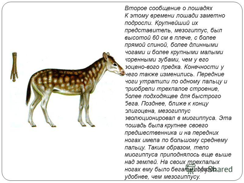 Второе сообщение о лошадях К этому времени лошади заметно подросли. Крупнейший их представитель, мезогиппус, был высотой 60 см в плече, с более прямой спиной, более длинными ногами и более крупными малыми коренными зубами, чем у его эоцено-вого предк