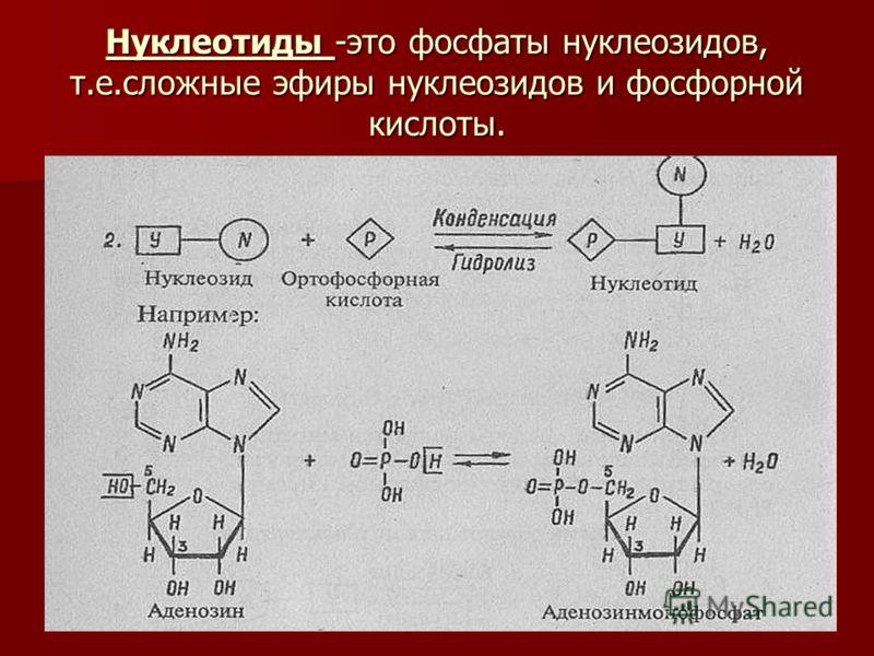 Нуклеотиды -это фосфаты нуклеозидов, т.е.сложные эфиры нуклеозидов и фосфорной кислоты.